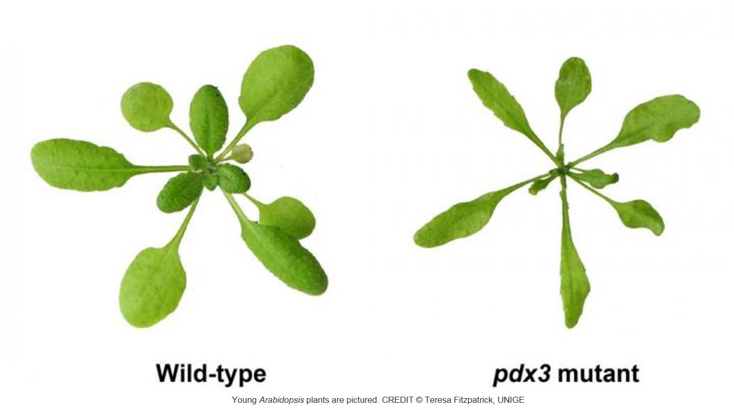 A new role for vitamin B6 in plants