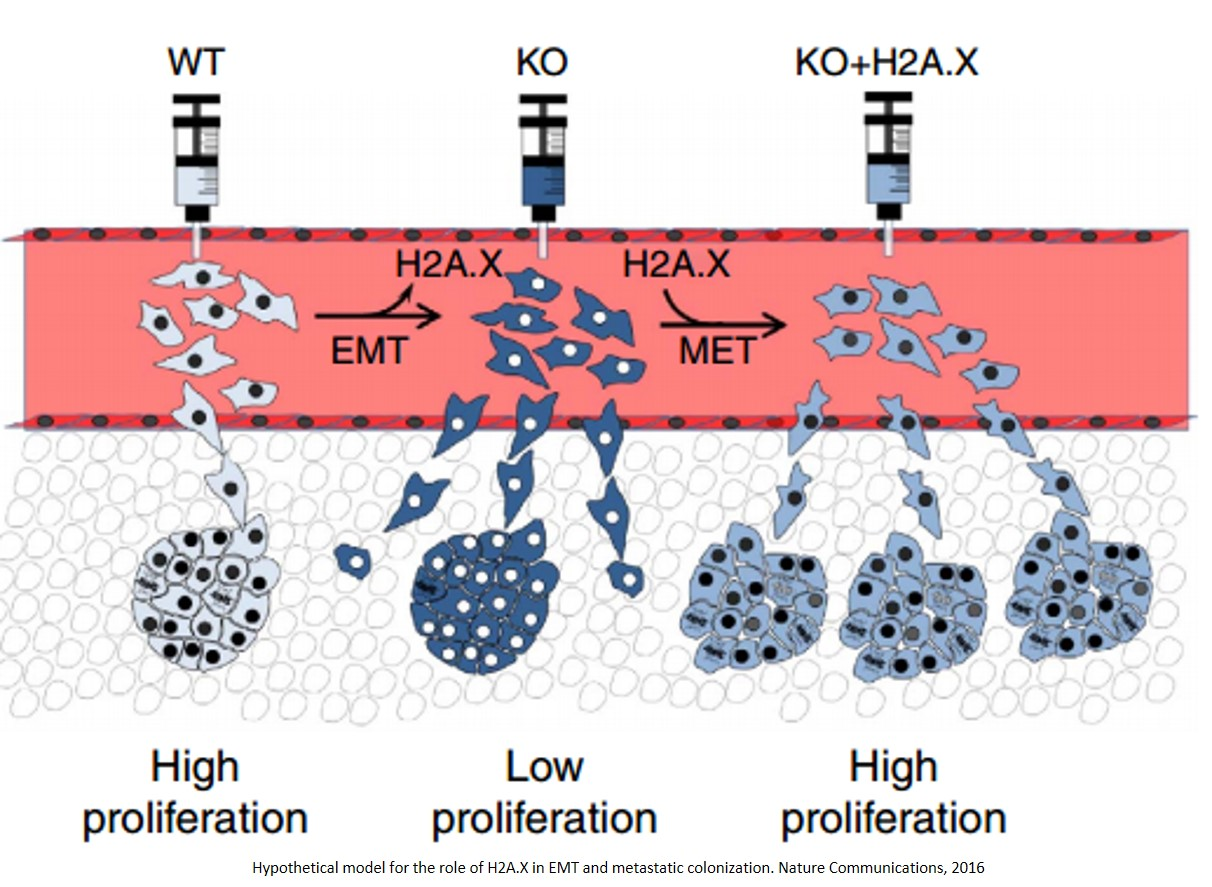 The histone variant H2A.X is a regulator of the epithelial-mesenchymal transition