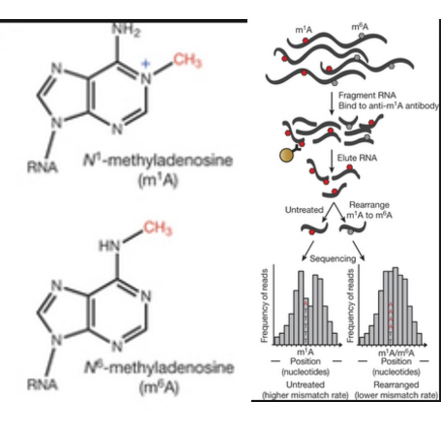 RNA is also methylated....role in epigenetics?