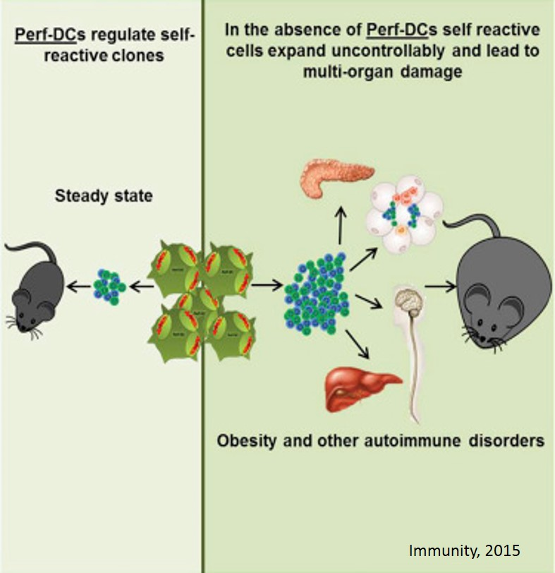 Cells that regulate both obesity and autoimmunity identified!