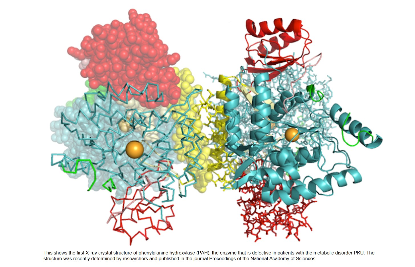 Solved protein structure of phenylalanine hydroxylase (PAH) to provide clues for metabolic disorder treatment