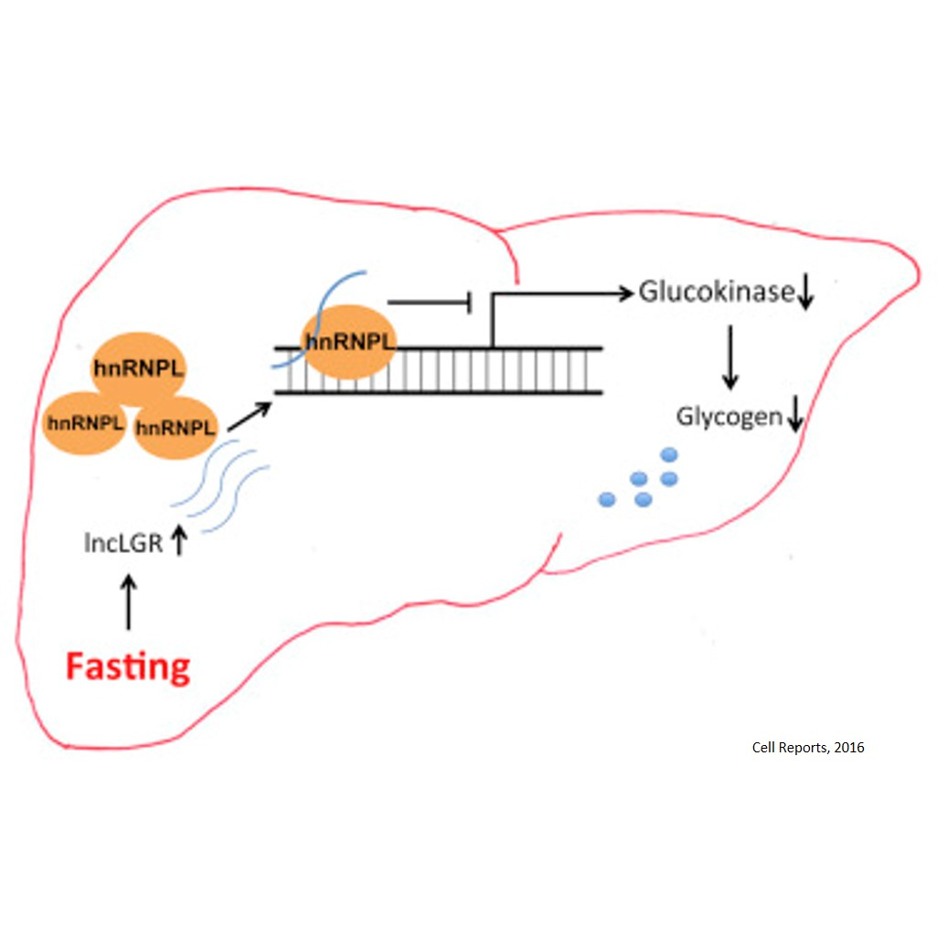 Role of long non-coding RNA in fasting!