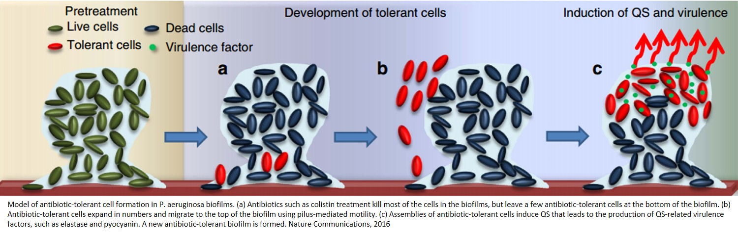 Developing tolerance against bacteria
