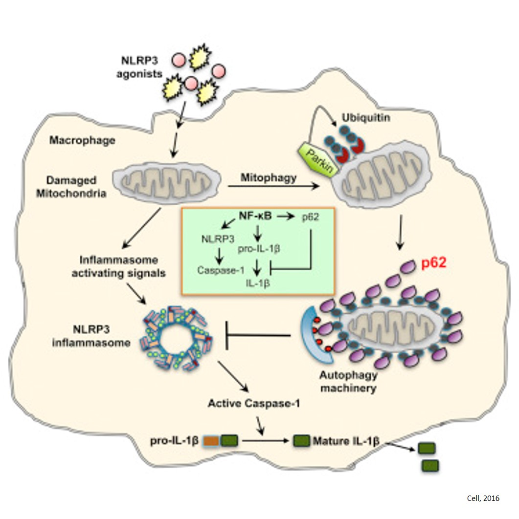 Mitochondrial connection to inflammation