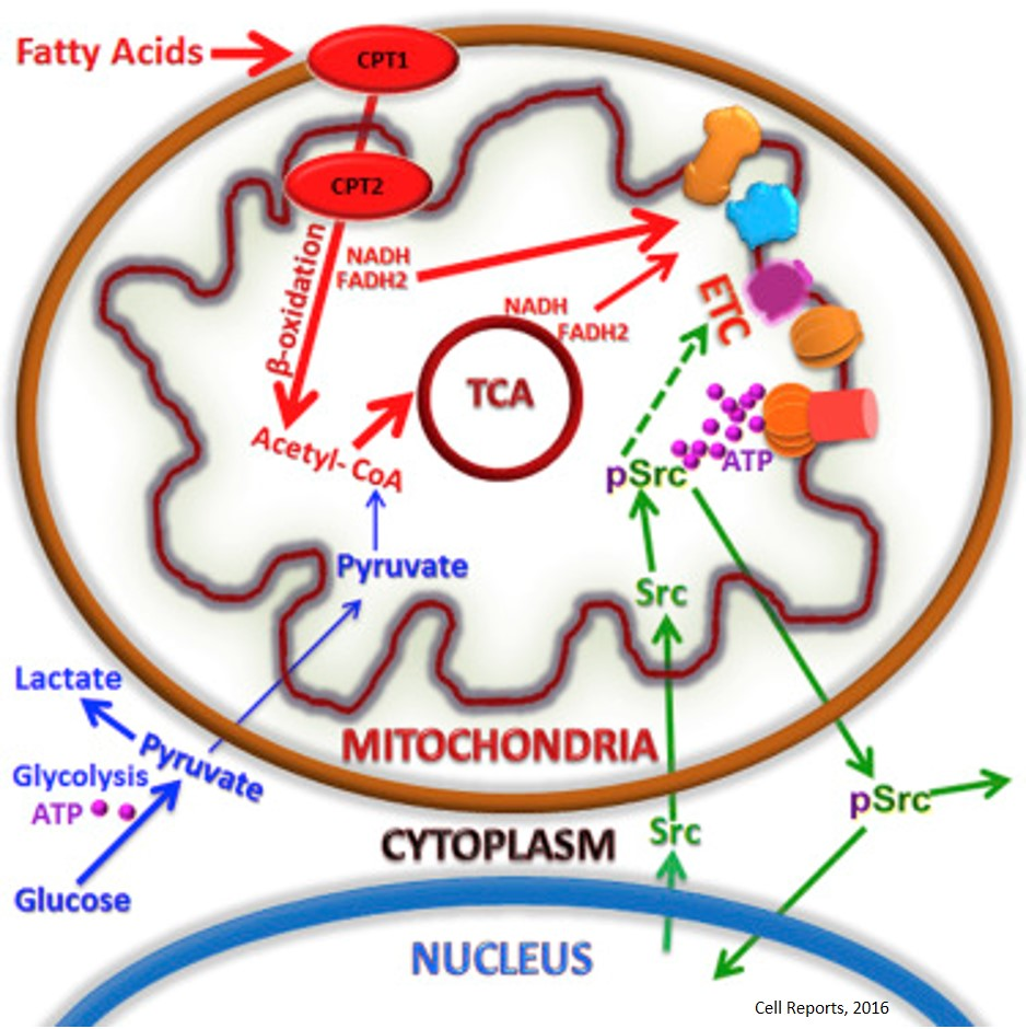 Mitochondrial fatty acid oxidation in the regulation of cancer metastasis