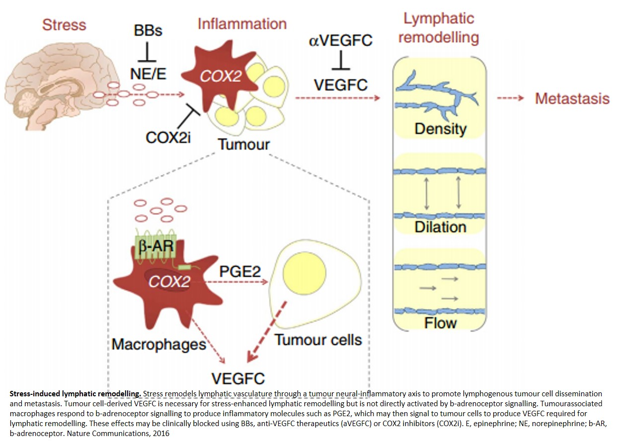 Chronic stress remodels lymph vasculature to promote tumor escape
