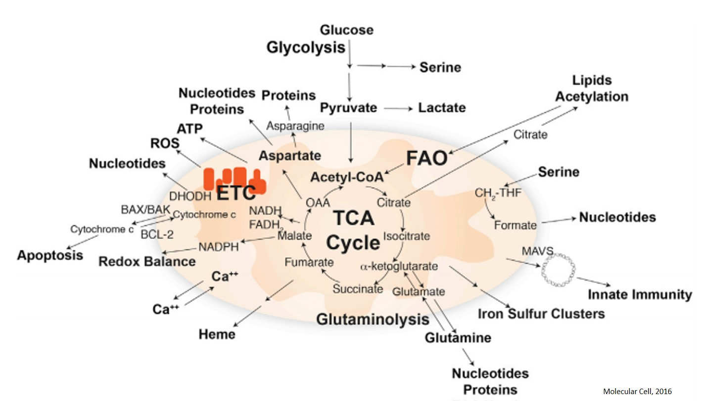Mitochondria and Cancer