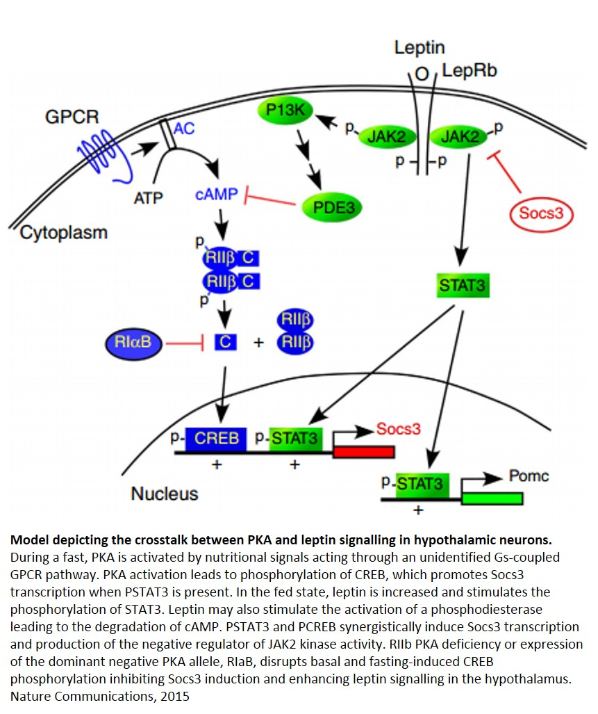 Regulation of obesity by hypothalamic protein kinase A (PKA)