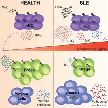 Anti-inflammatory immune cells are maturing into wrong cell type in lupus