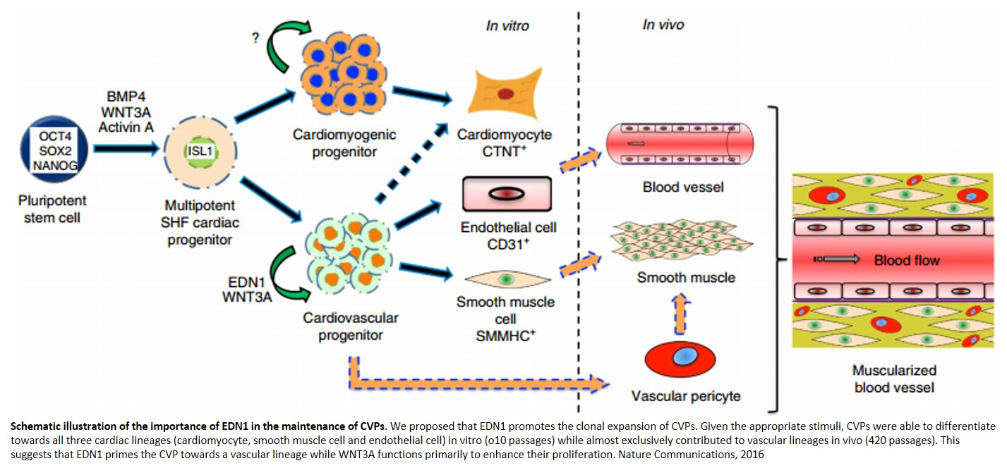 Factor required for long term proliferation of cardiac progenitors identified!