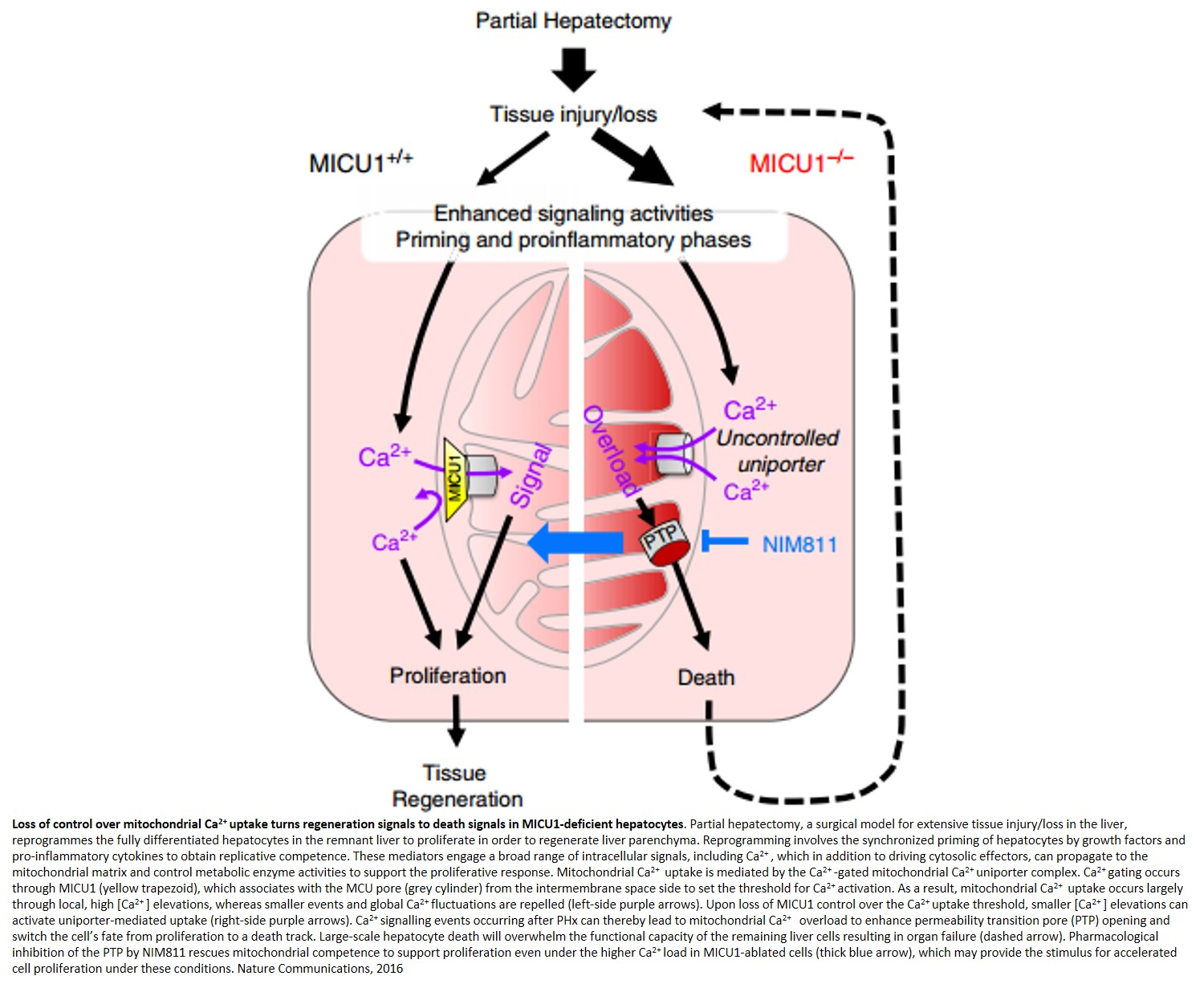 Mitochondrial calcium gatekeeper is required to prevent cell death during stress