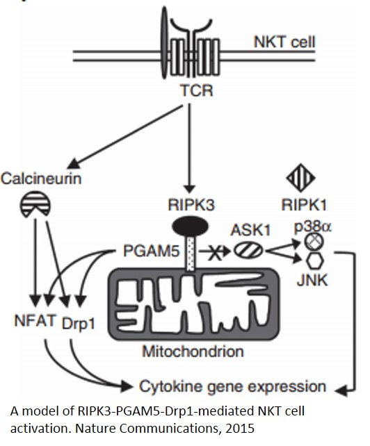 Novel role of mitochondria in immune function
