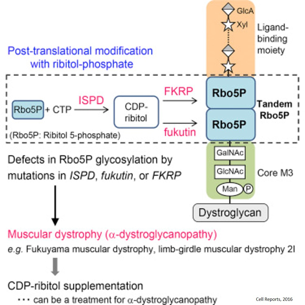 Post-translational Modification Defect in Muscular Dystrophy