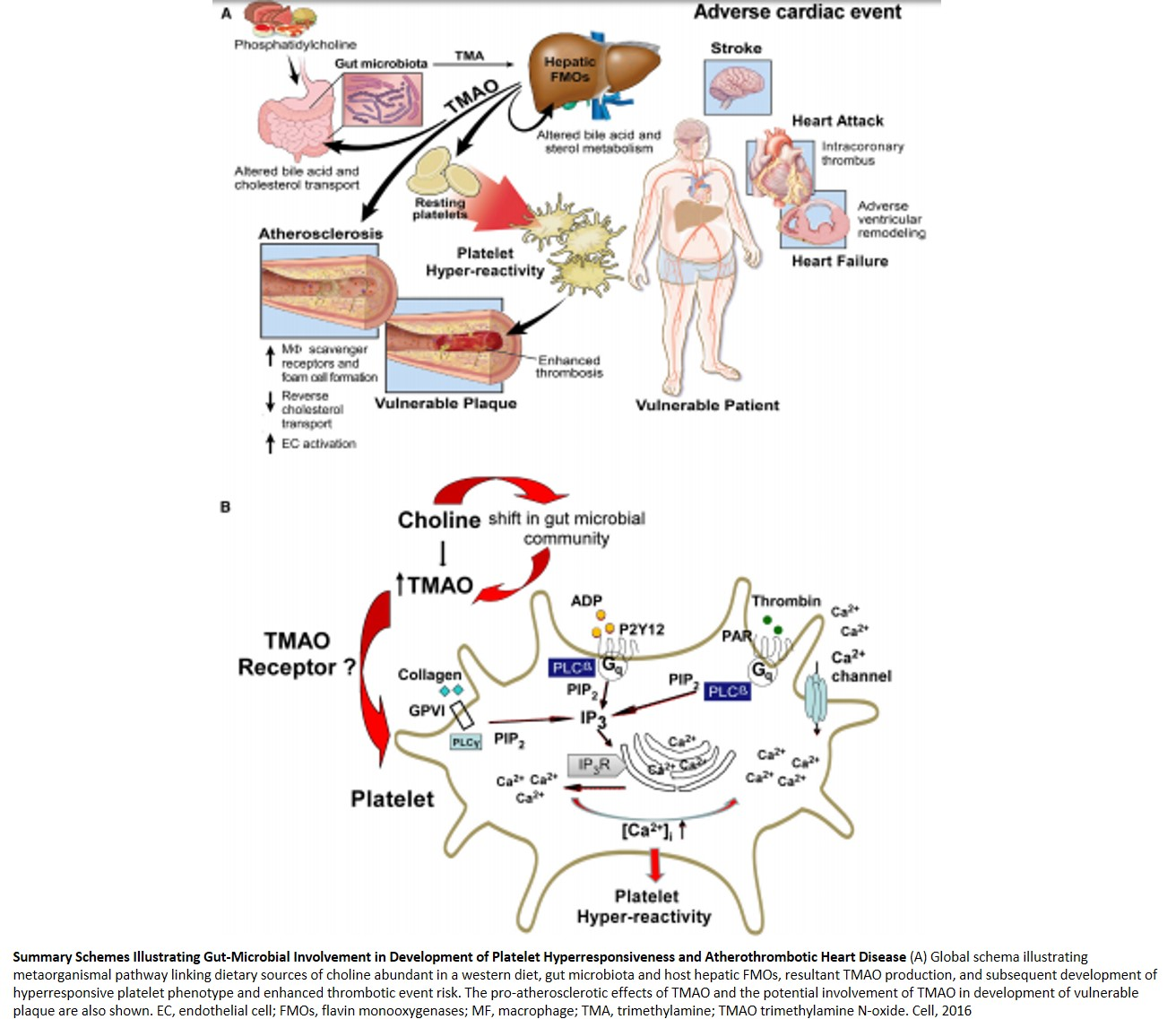 Gut-Microbial Role in Heart Disease!