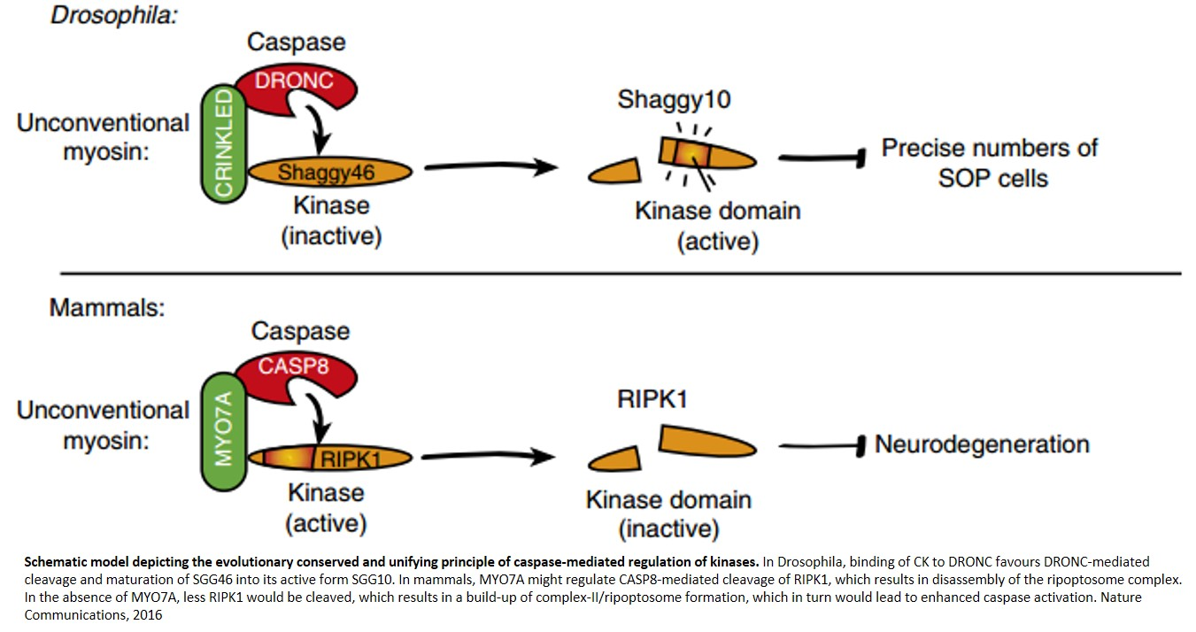 Caspases role in non-apoptotic signaling to control cellular homeostasis