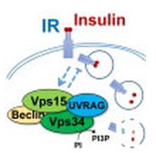 Insulin receptor regulation!