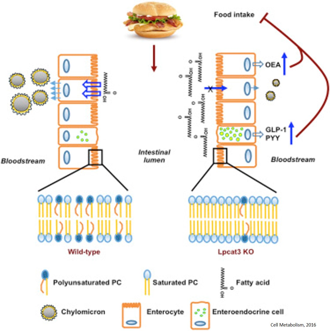 Intestinal Phospholipid Remodeling Is Required for Dietary-Lipid Uptake and Survival on a High-Fat Diet