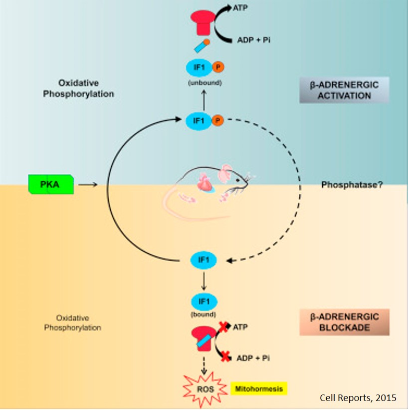 Regulation of energy metabolism by ATPase inhibitory factor 1