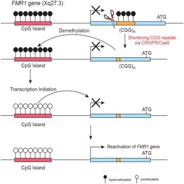 Transcriptional silencing in Fragile X syndrome