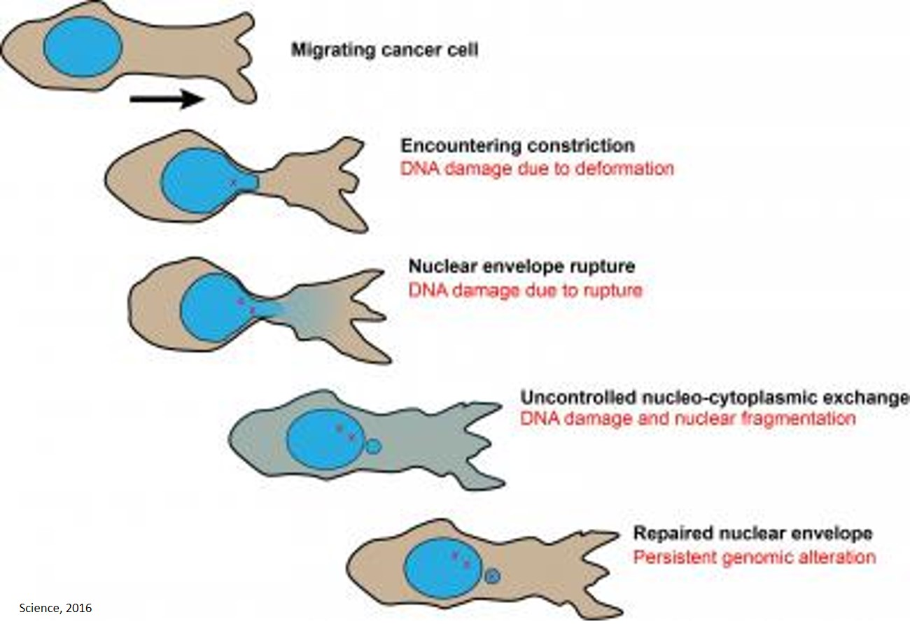 Nuclear envelope rupture and repair during cancer cell migration