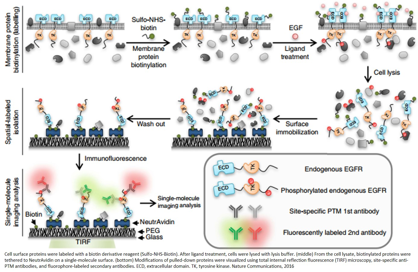 Single-molecule blotting to detect site-specific receptor phosphorylations