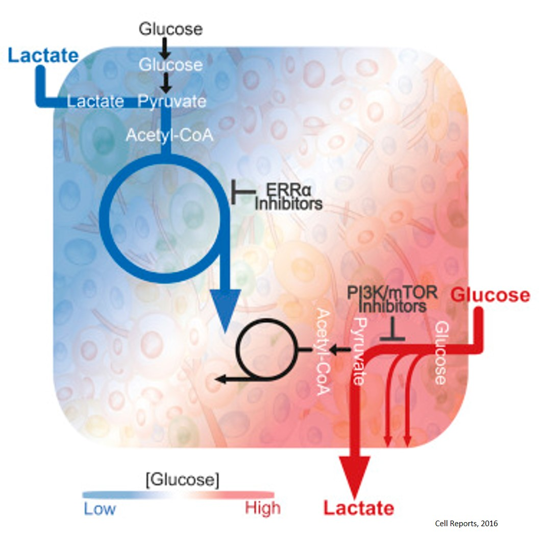 Targeting alternate lactate energy source of breast tumors