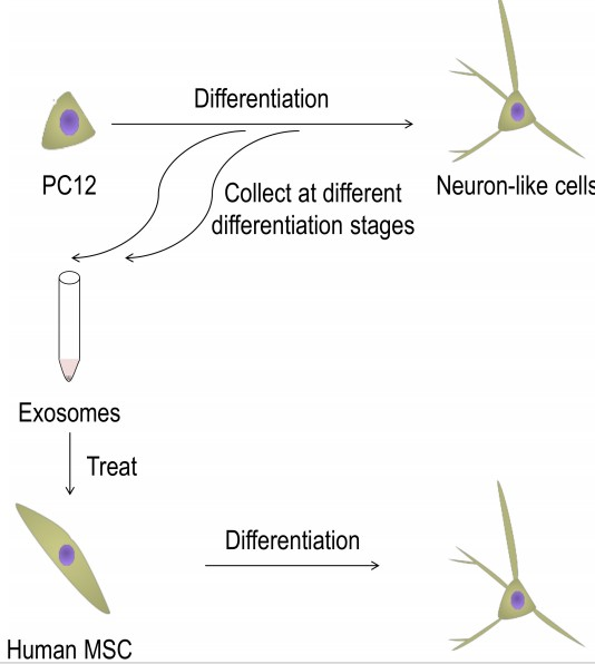 Exosomes help in the differentiation of mesenchymal stem cells to neurons