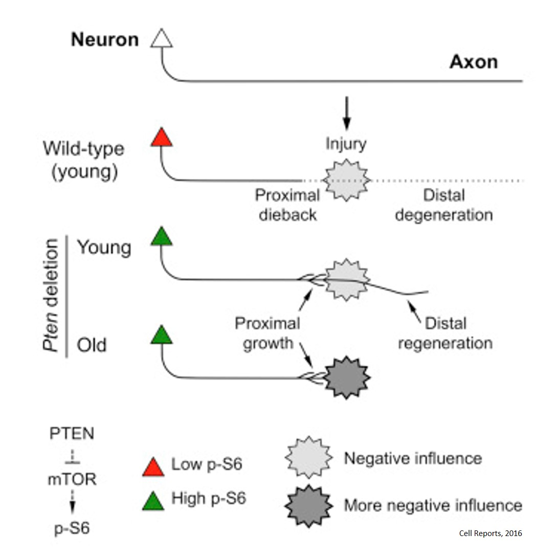 Evidence for an Age-Dependent Decline in Axon Regeneration in the Adult Mammalian CNS