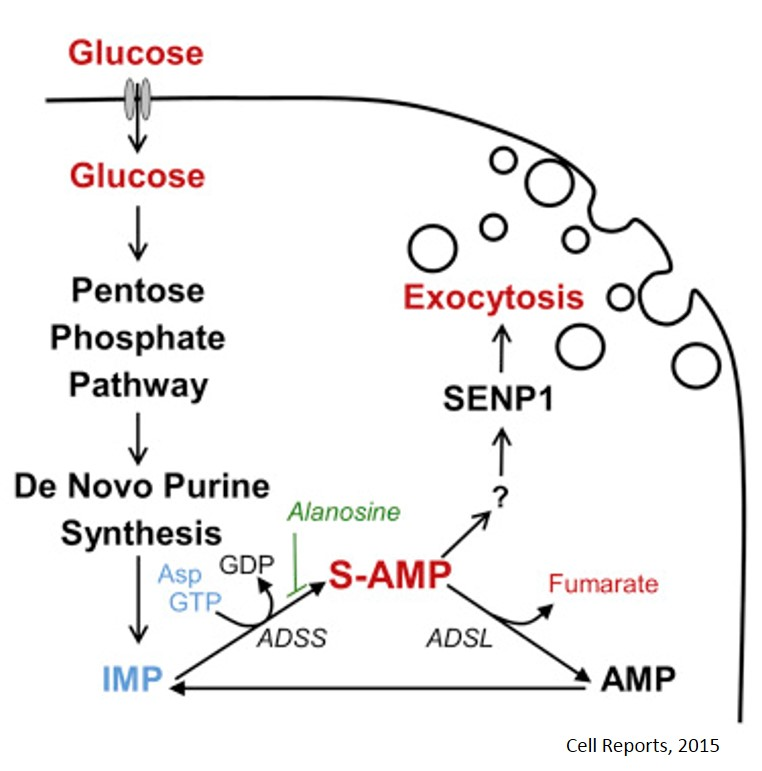 Adenylosuccinate (S-AMP) to reverse type II diabetes by relessing insulin
