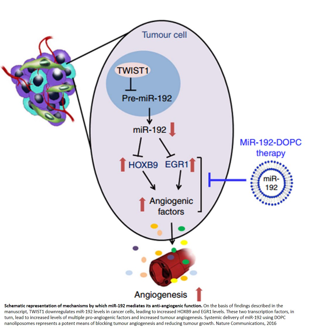MicroRNA controls angiogenic switch in cancer