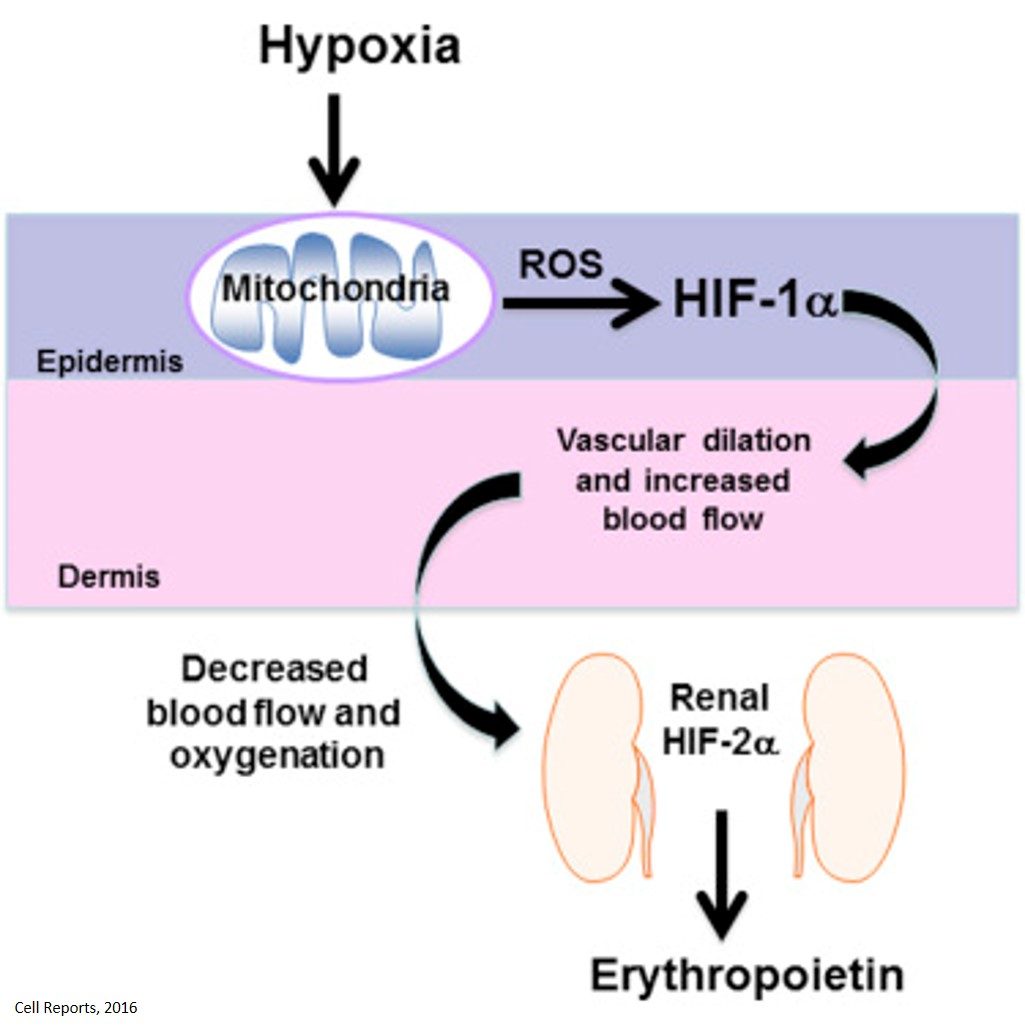 The Mitochondrial Respiratory Chain Is Required for Organismal Adaptation to Hypoxia