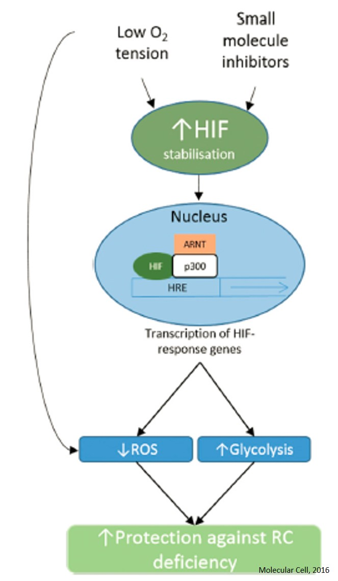 Treating Mitochondrial Disease with Hypoxia