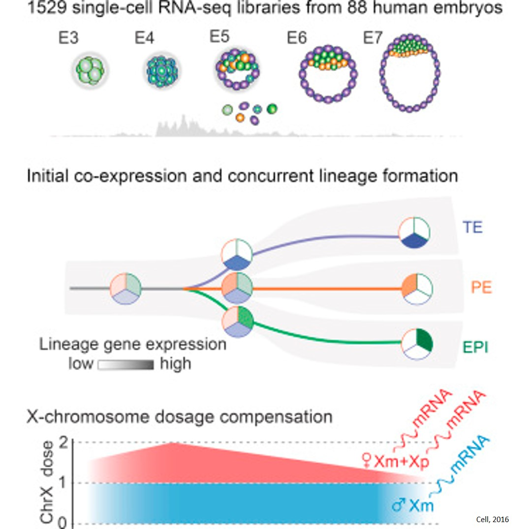 Controlling X chromosome gene expression durning early human embryo development