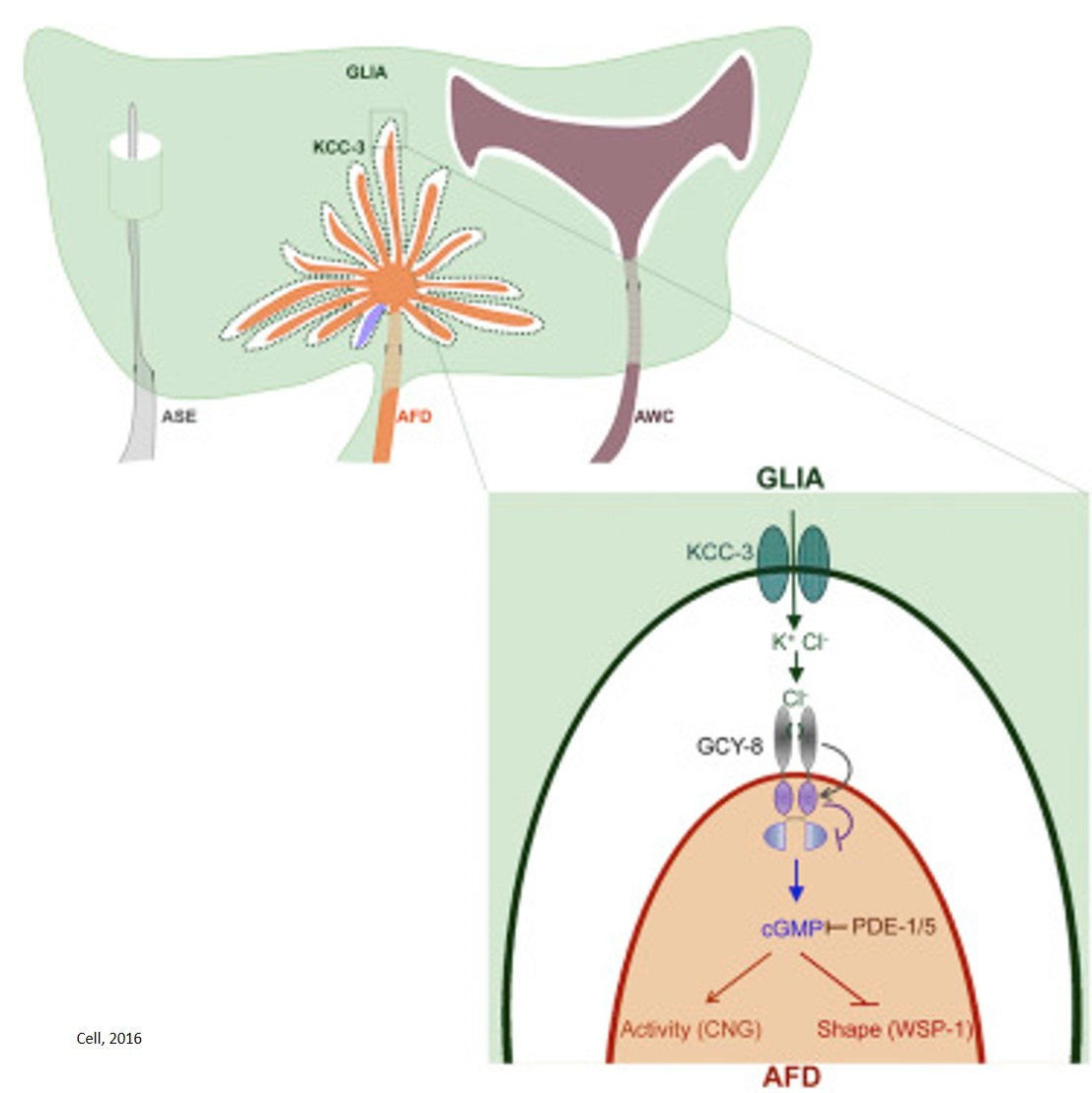 Glial cells control shape of nerve endings