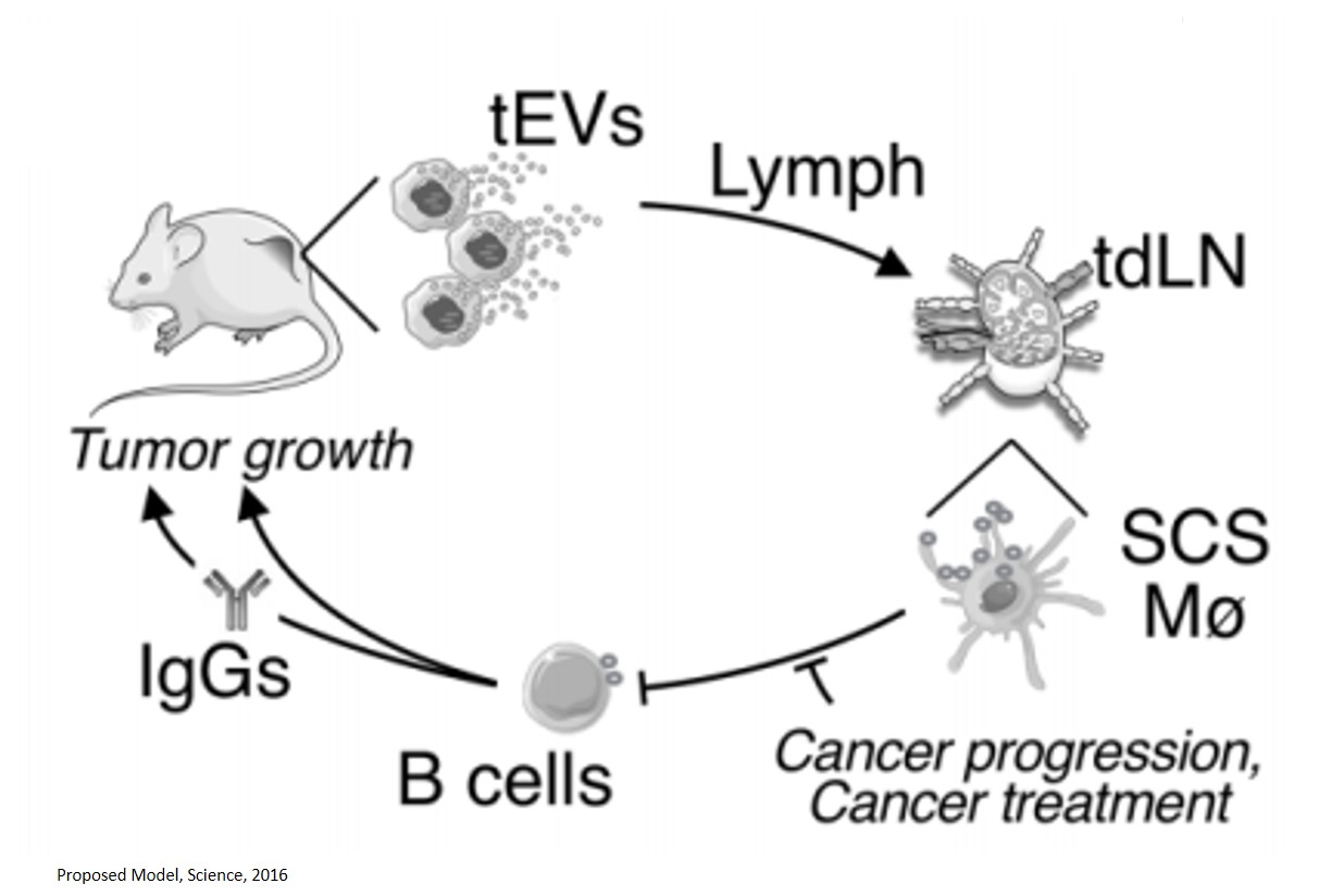 Macrophages surrounding lymph nodes block the progression of melanoma, other cancers