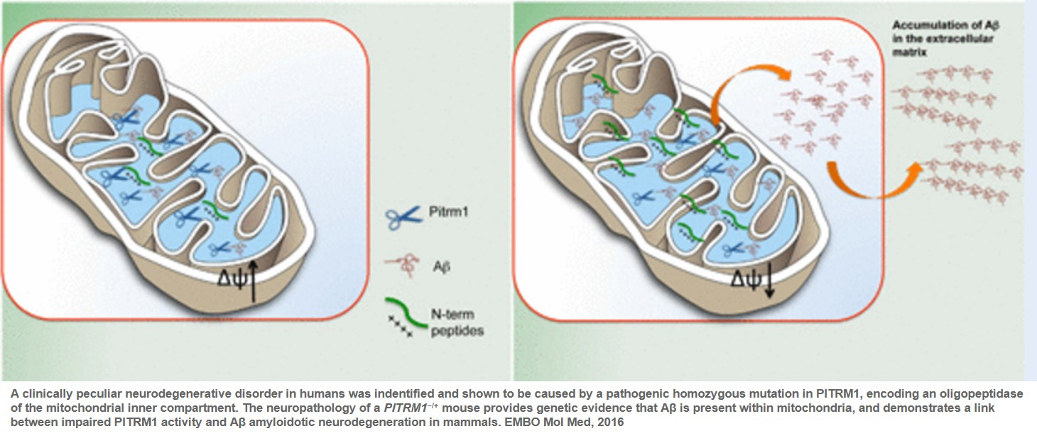 A mutation in a mitochondrial protein leads to Abeta accumulation