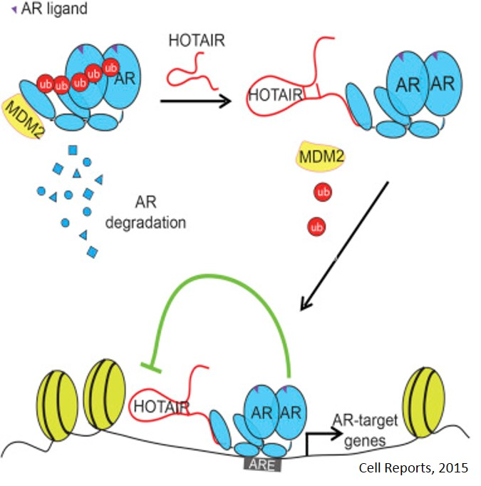 Long noncoding RNA, HOTAIR promotes prostate cancer