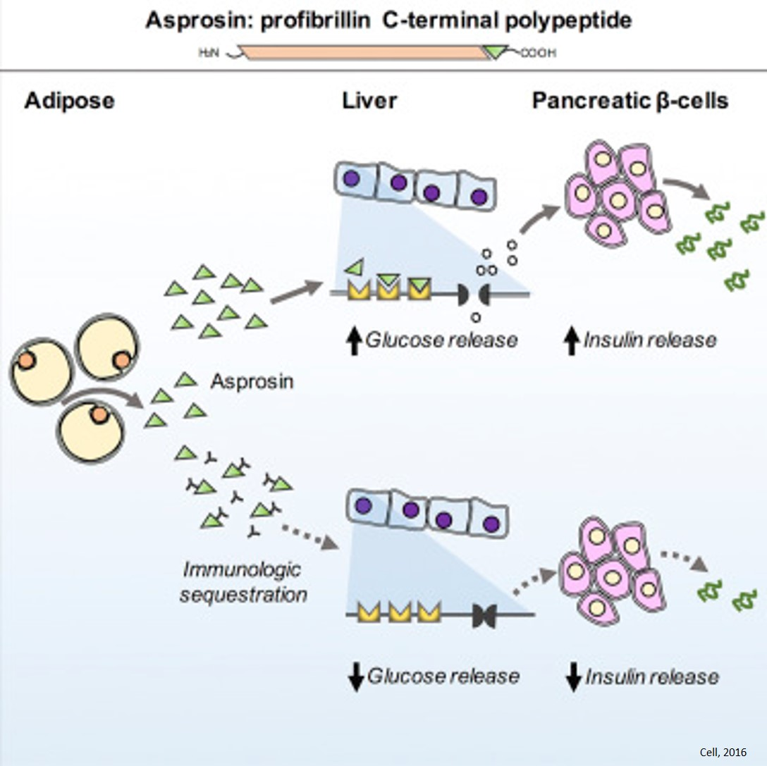Asprosin, a new hormone, for the treatment of diabetes?