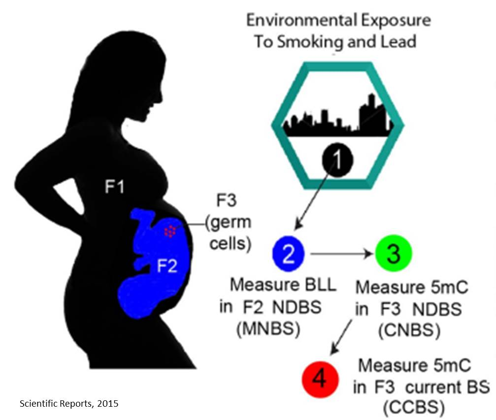 Lead exposure in mothers can affect future generation