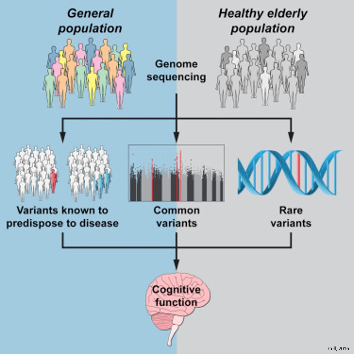 Link between cognitive decline genes and healthy aging