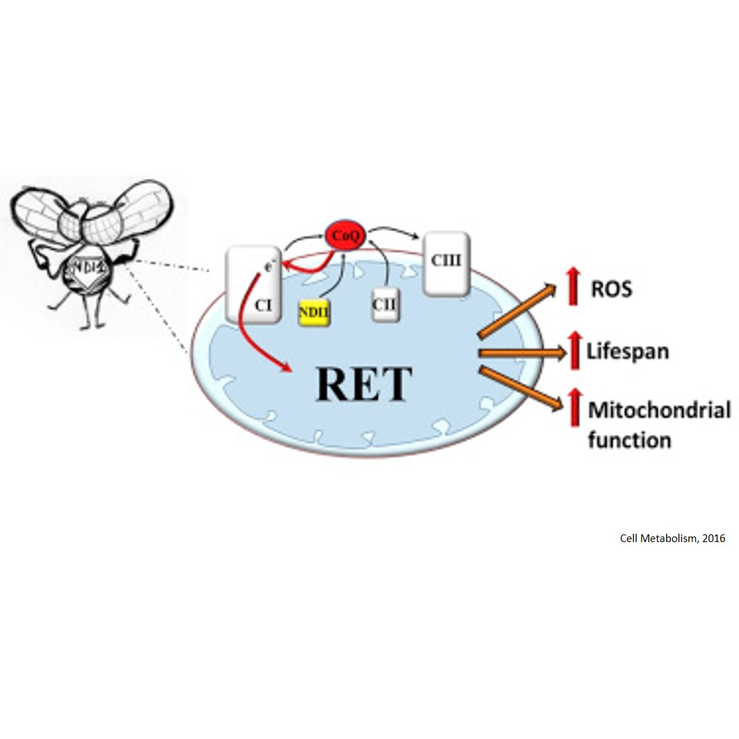 Mitochondrial ROS Produced via Reverse Electron Transport Extend Animal Lifespan