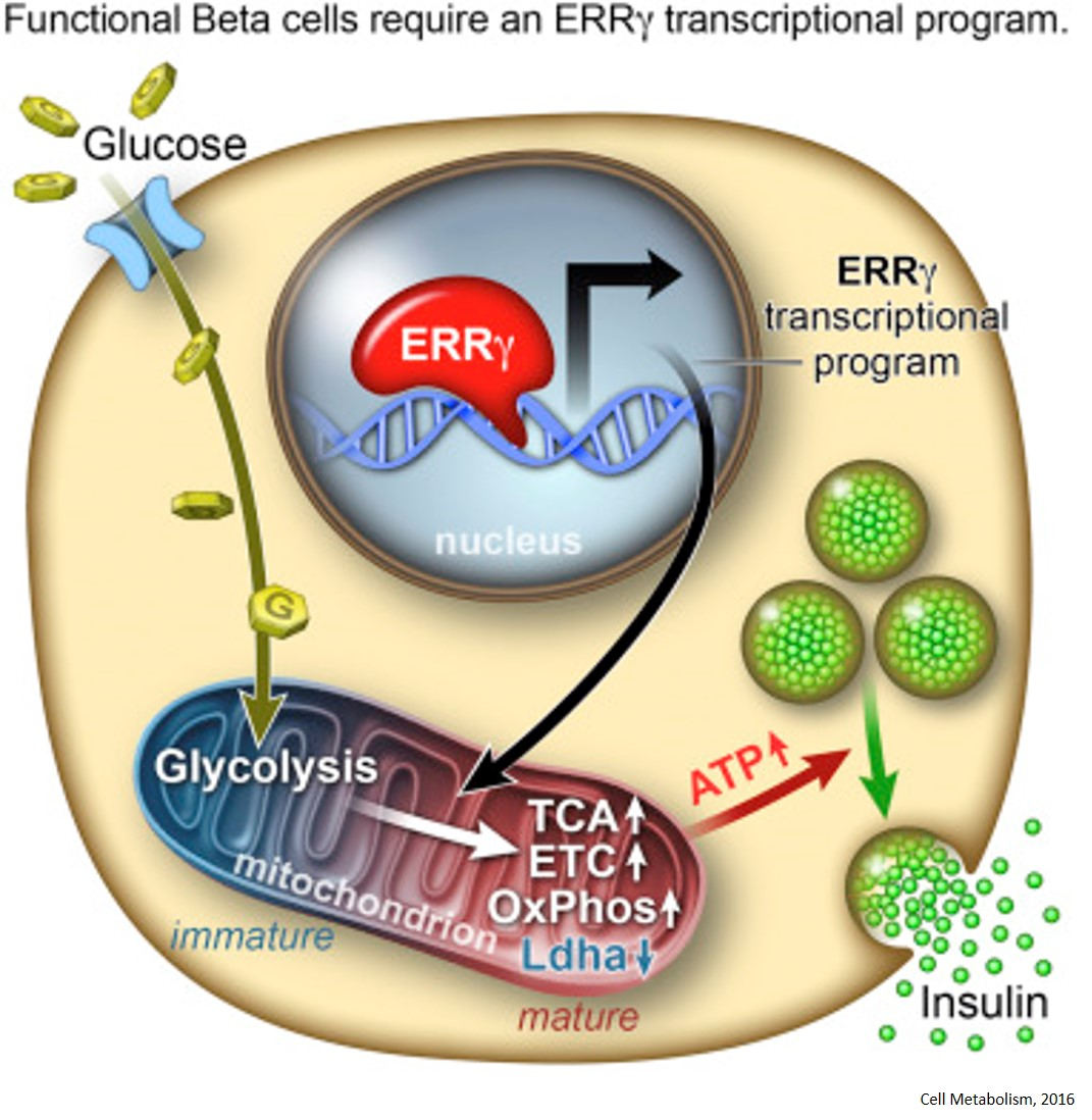 Estrogen-related receptor γ (ERRγ) required for functional maturation pf pancreatic beta cells