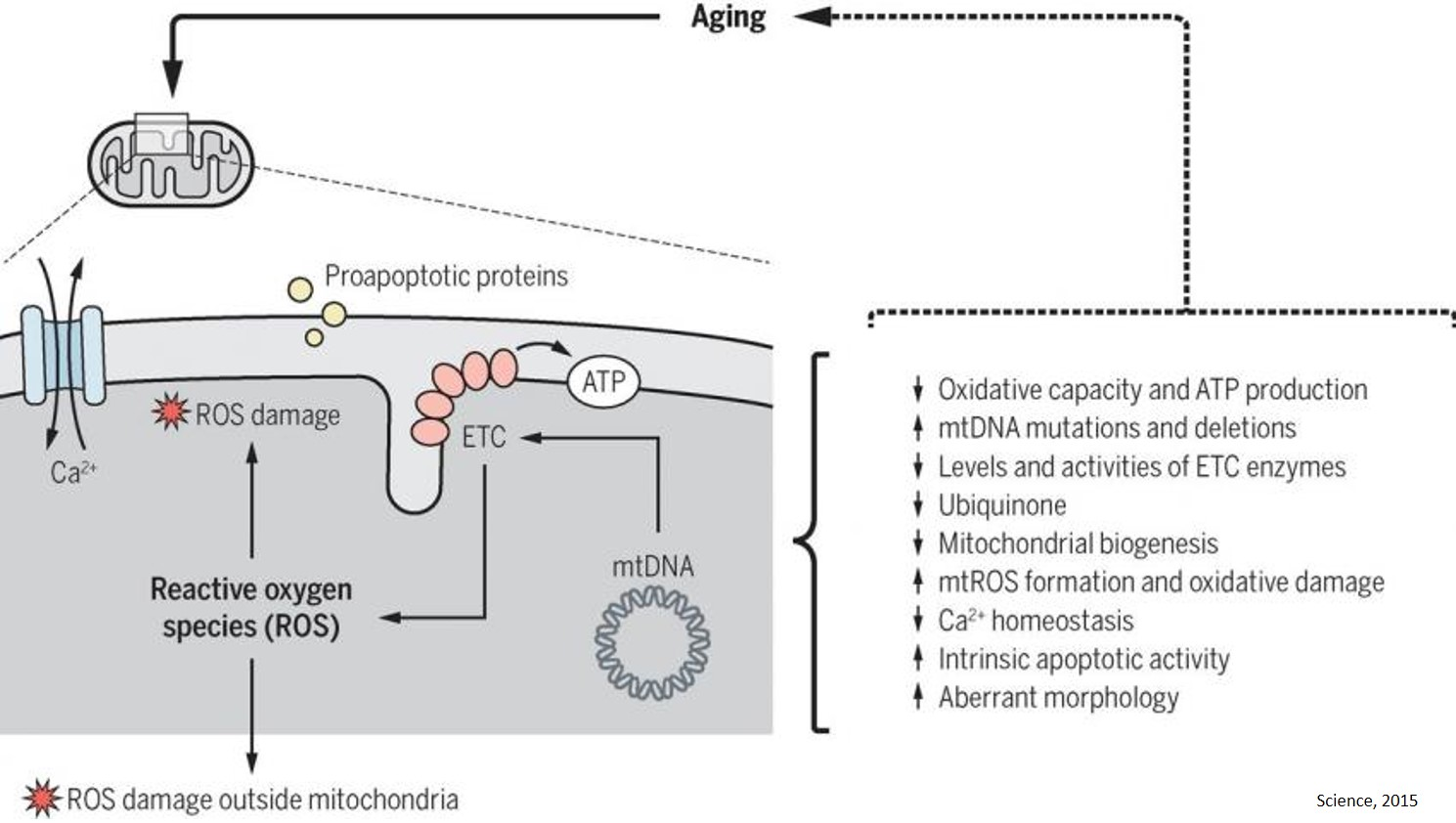 A vitamin that stops the aging process of organs