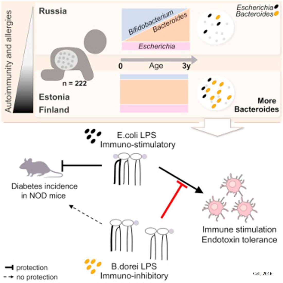 The gut microbiomes of infants have an impact on autoimmunity