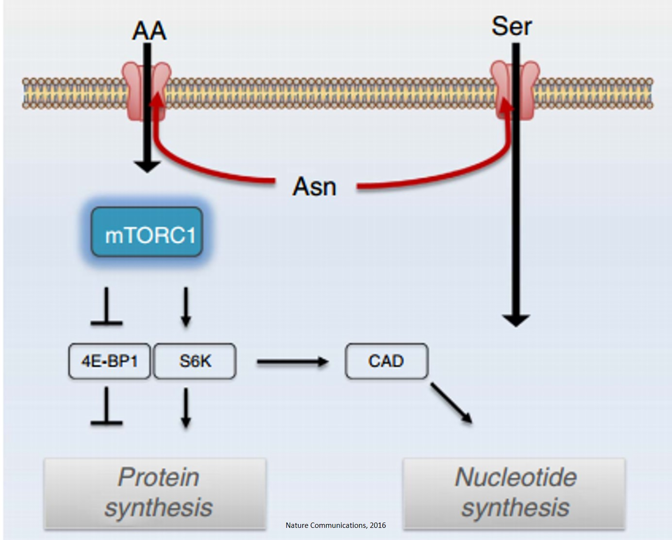 Amino acid exchange factor and cancer cell proliferation