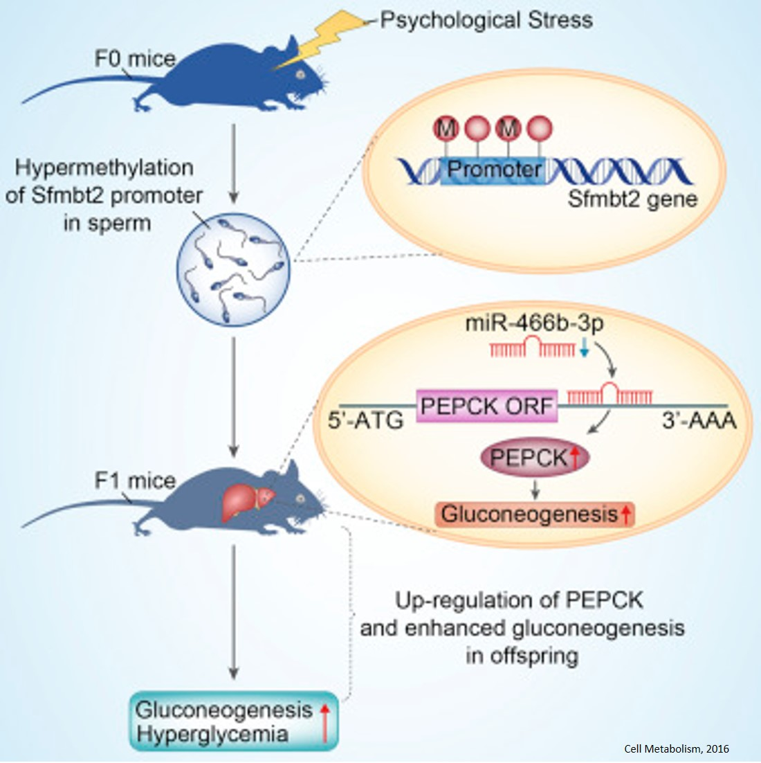 Paternal psychological stress on the regulation of glucose metabolism