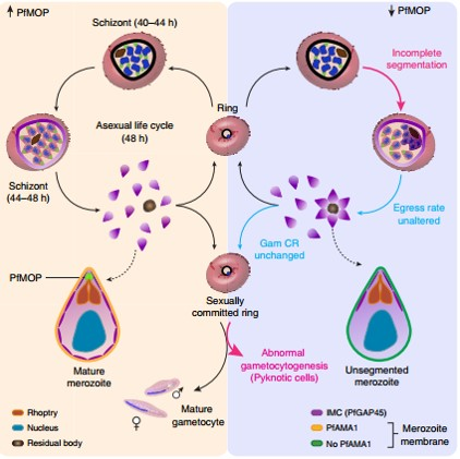 A malaria protein essential for blood and transmission-stages of parasites identified!