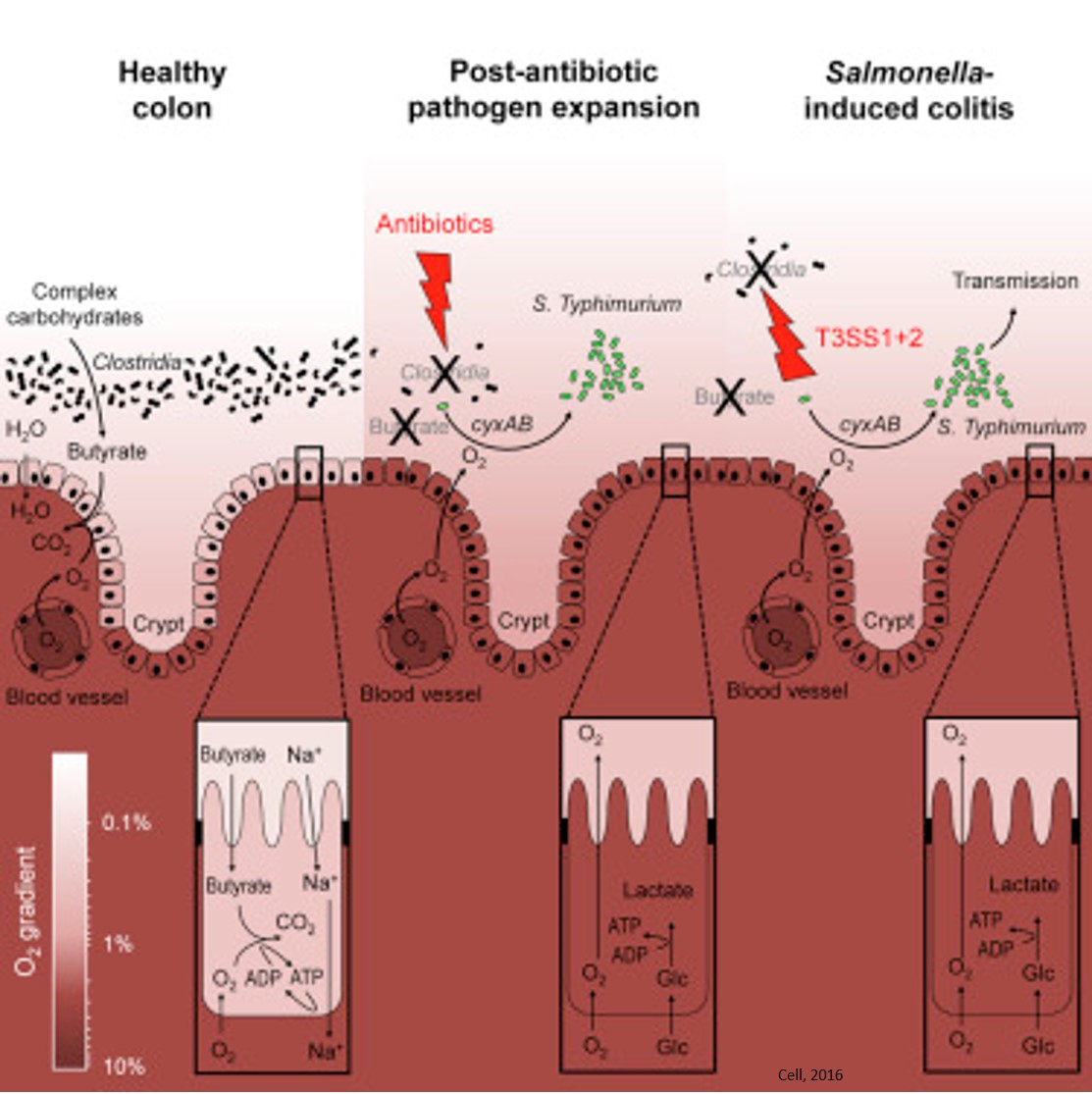 Antibiotics benefit pathogen growth by disrupting oxygen levels, fiber processing in the gut