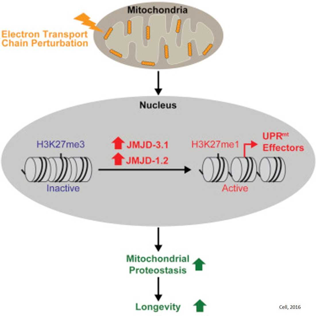 Stressing mitochondria triggers epigenetic changes that last a lifetime