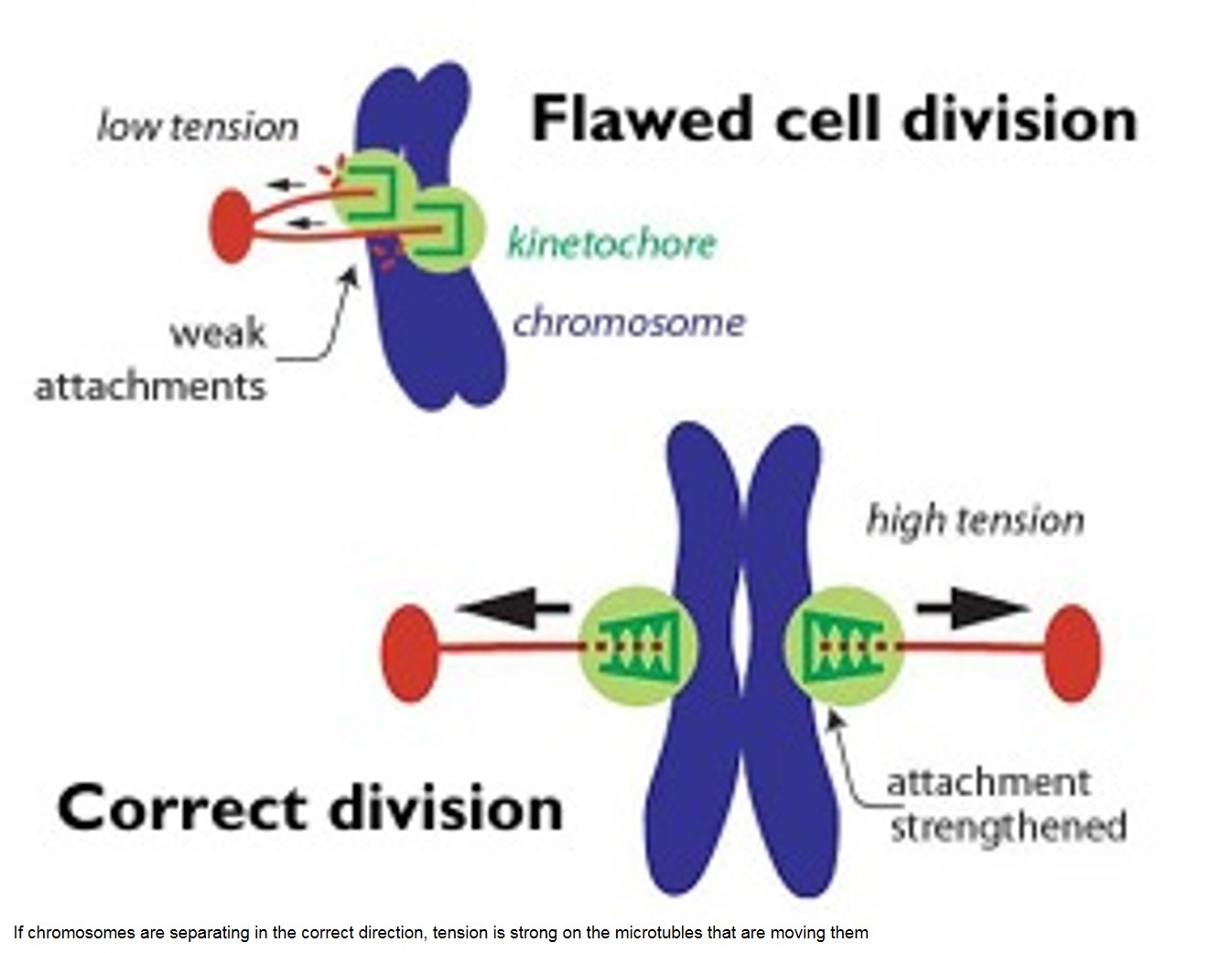 Tension-sensitive molecule helps cells divide chromosomes accurately
